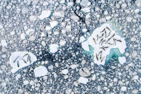 Phoques crabier sur la glace