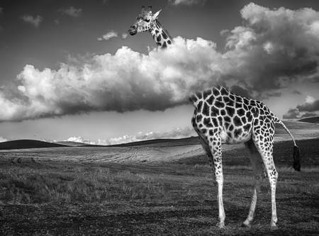 Giraffe above the clouds
