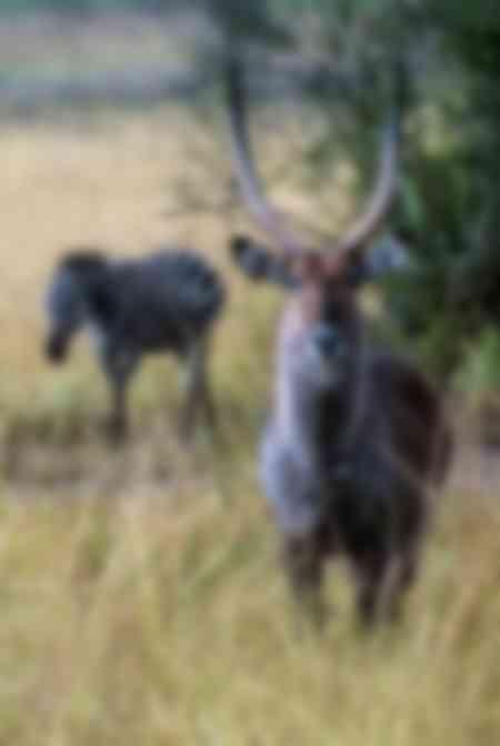 Antilope et zèbre dans la savane