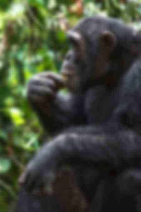 Emory Schimpanse