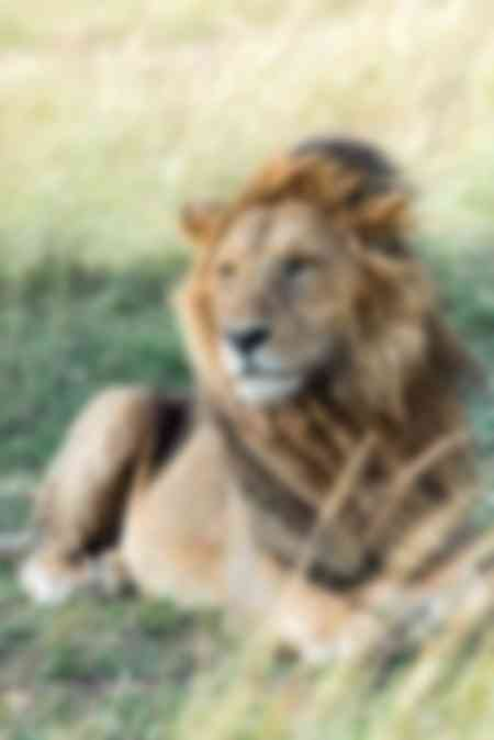 Lion in the Masai Mara Triangle