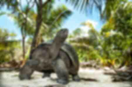 Tortues géantes d'Aldabra