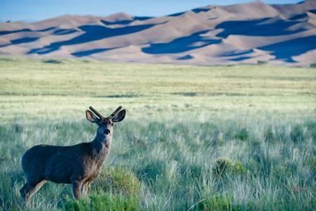 Cerf au pied du Parc National Great Sand Dunes
