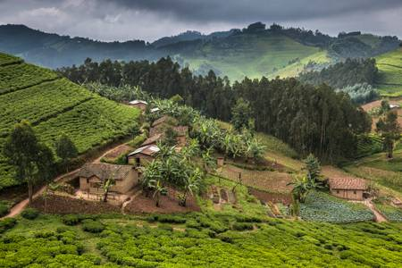 Tea field around Lake Kivu
