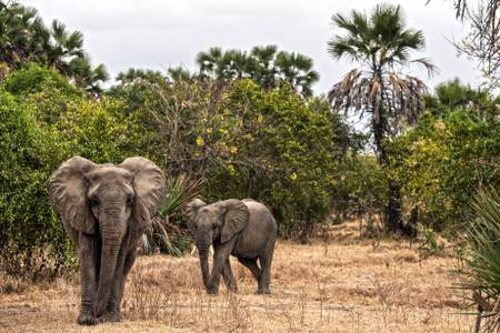 Eléphant dans le parc de Selous