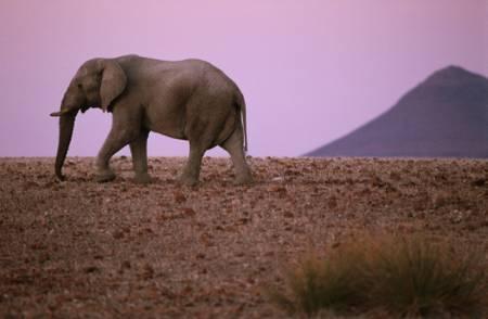 Eléphant déserticole dans le désert de Namibie