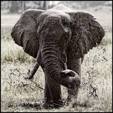 Elephants of Okavongo Delta