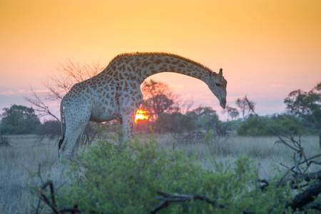 Girafe près du Marais de l'Okavango