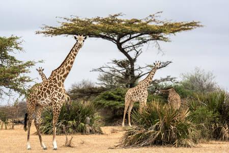 Girafes dans le parc de Selous