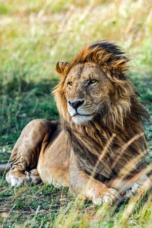 Lion dans le triangle du Masai Mara