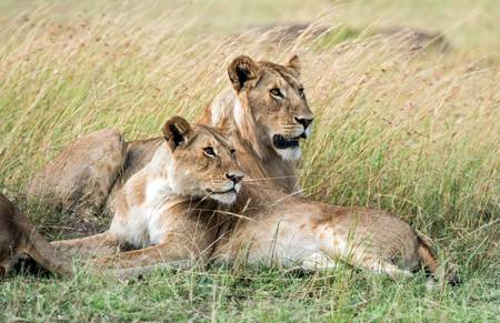 Lion et lionne dans le triangle du Masai Mara