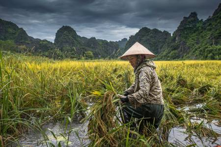 Ramassage du riz dans la baie d'Halong