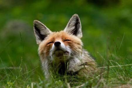 Fuchsvulpen im hohen Gras