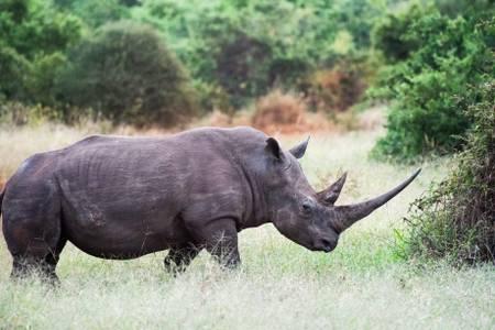 Rhinocéros blanc dans le parc national de Meru