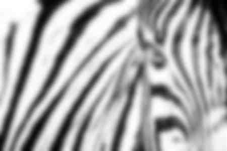 Portrait de zèbre