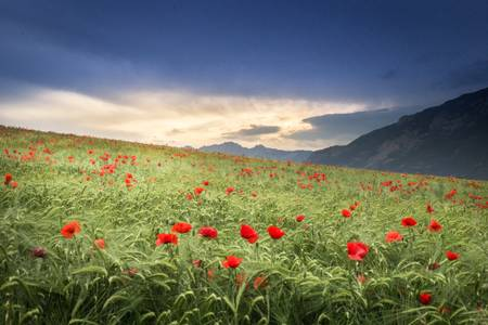 Field of poppies in Haute-Provence