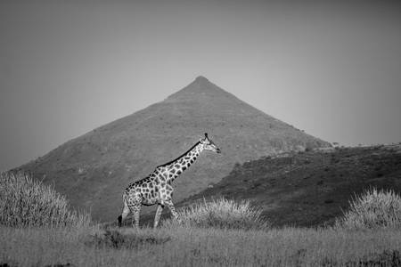 Giraffe in the savannah in black and white