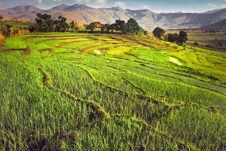 Rice fields in Madagascar 2