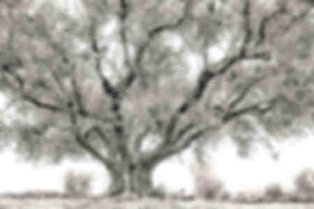 Olivträd mark