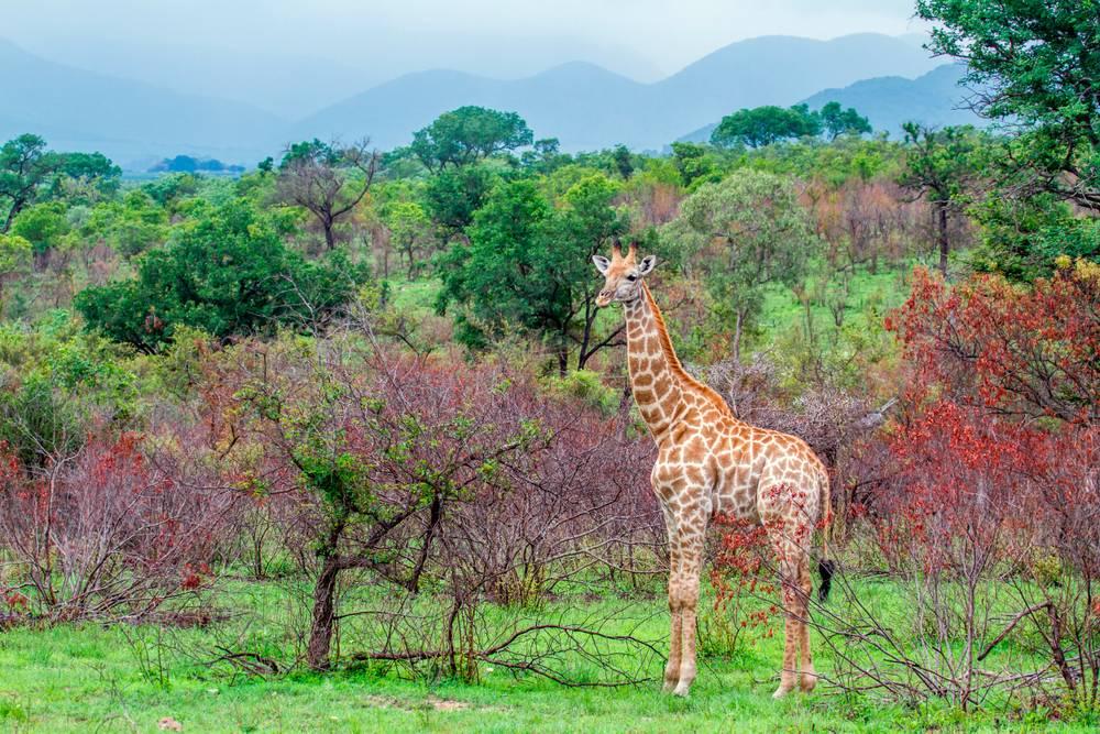 https://cdn.artphotolimited.com/images/5a3e261cf567027a31d2db97/1000x1000/girafe-dans-son-milieu-naturel.jpg