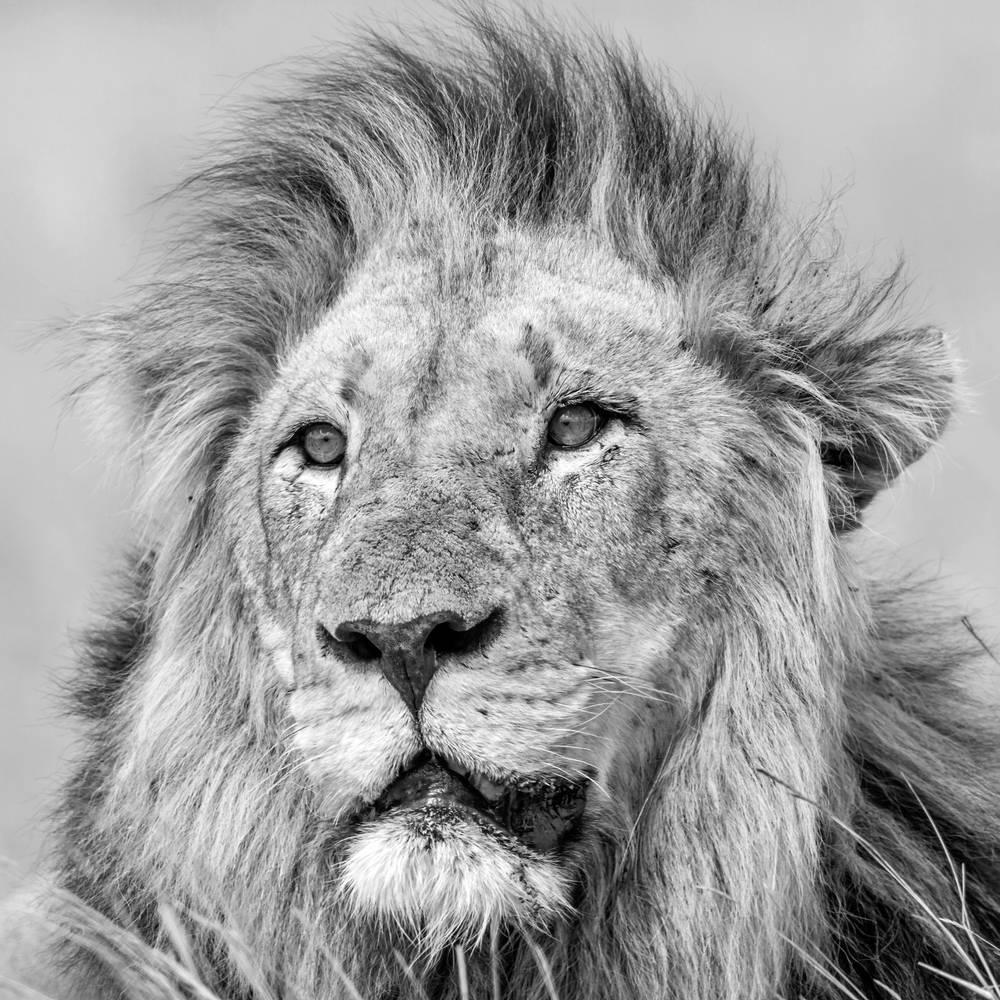 photo d u0026 39 art portrait de lion d u0026 39 afrique en noir et blanc - artiste patrice correia