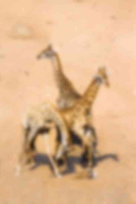 Giraffe ballet in the African dunes