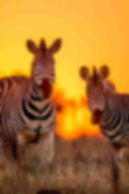 Couple of Burchell's zebras at sunrise