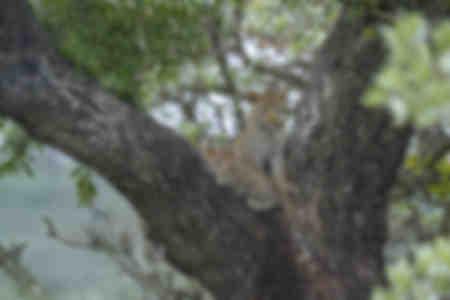 Leopard två i ett träd
