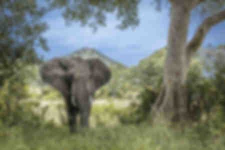 African elephant in a green savannah landscape