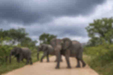 African elephant crossing a track