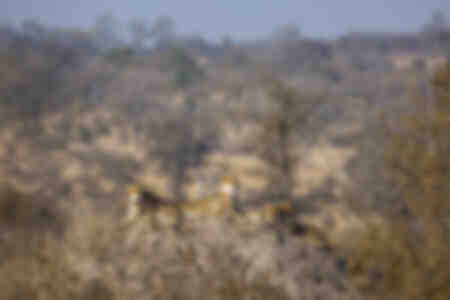 Gepardenfamilie auf einem Termitenhügel