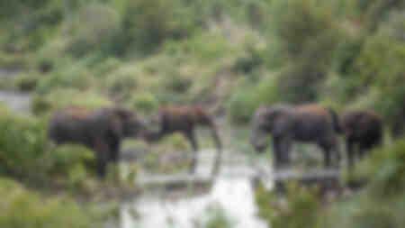 Grupp av elefanter som dricker vid floden