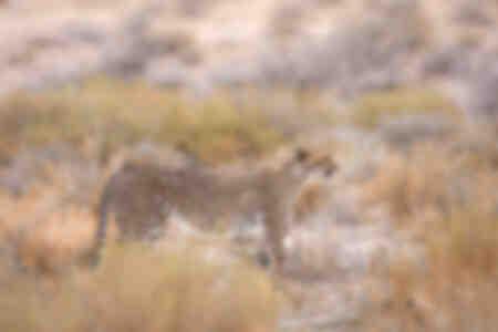 Guepardo en las hierbas del desierto