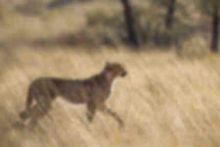 Gepard i gräset mot ljuset