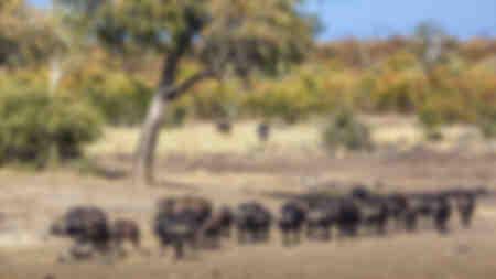 Horde van Afrikaanse buffels die in de savanne lopen
