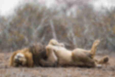 De grote rest van de leeuwenkoning