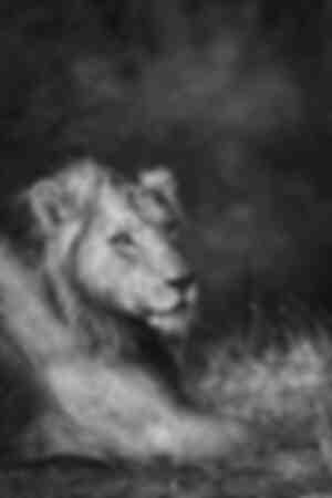 Lejonkungen i svartvitt