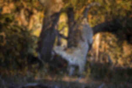 Leopard jagt ein Eichhörnchen
