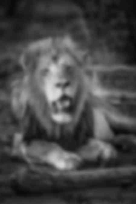 Majestic lion d'Afrique en noir et blanc