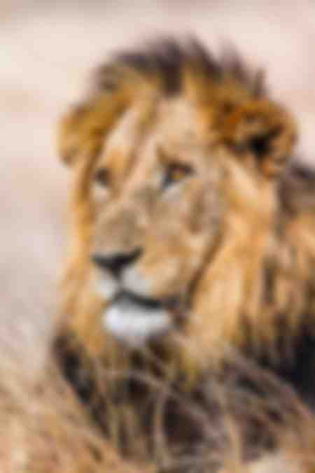 Portrait of a male lion of Africa