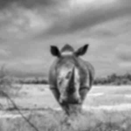 African white rhinoceros facing front