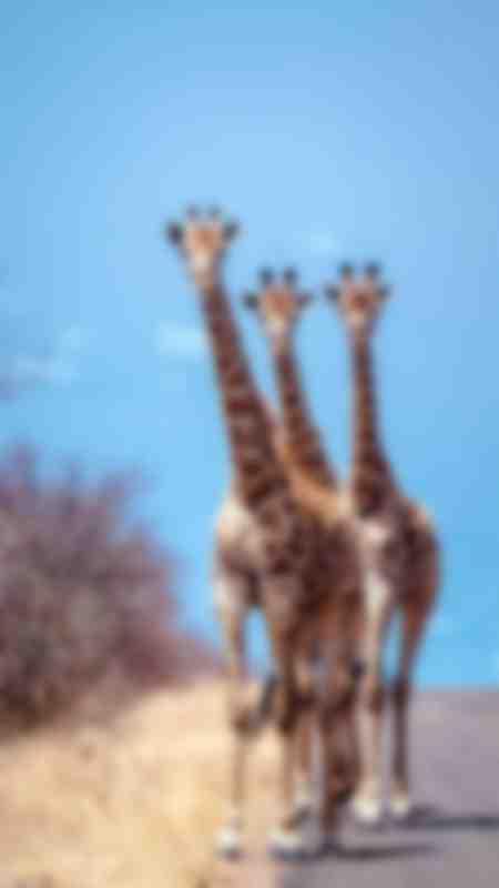 Three puzzled giraffes