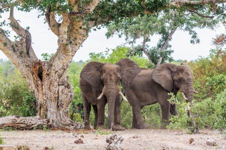 Two African elephants in the shade of a tree