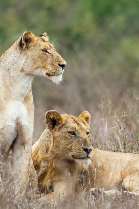 Deux majestueuses lionnes d'Afrique