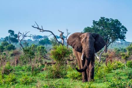 African elephant in the green savannah