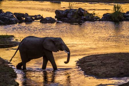 Elephant crossing the river at dusk