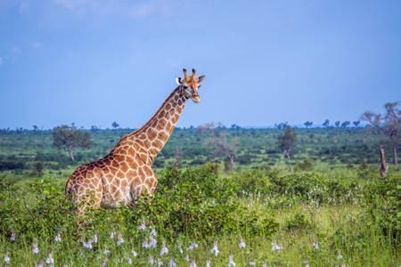 Giraffe in the African green savanna