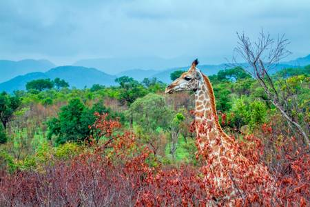 Girafe dans un paysage d'Afrique