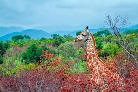 Giraffe in an African landscape