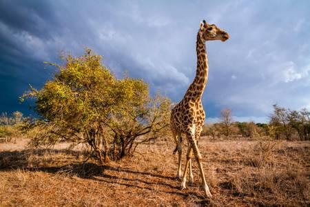 Girafe dans un paysage d'orage